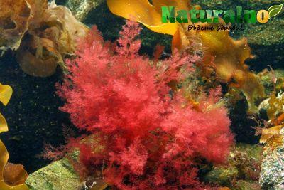 Червени водорасли ( Lithothamnion Sp. )