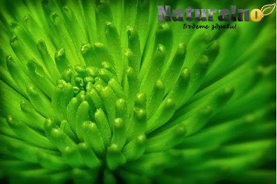 Зелени водорасли ( Dunaliella Salina Algae )